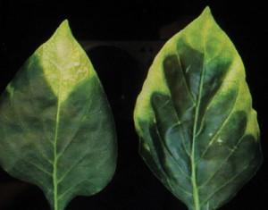 Advanced-boron-deficiency