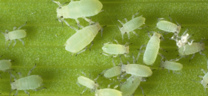 How To Get Rid Of Aphids On Plants Naturally