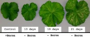 Boron_deficiency