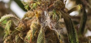 Bud Rot - What It Is and How To Prevent It