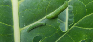How To Get Rid Of Cabbage Worms On Plants Fast