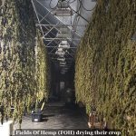 Drying and Curing Flower - The Definitive Guide