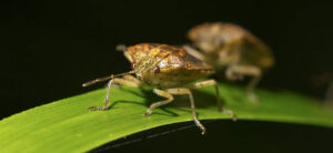 How To Get Rid Of Stink Bugs In The Garden