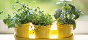 How To Grow Oregano Plants