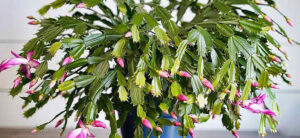 How To Grow & Care For A Christmas Cactus Plant