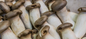 Hydroponic Mushrooms: Growing Mycelium Without Soil!
