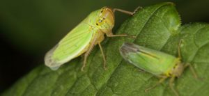How To Get Rid Of Leafhoppers On Plants Fast