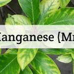 Manganese (Mn) Nutrient Deficiencies In Plants