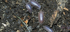 How To Get Rid Of Pill Bugs In The Garden
