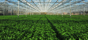 Sea Of Green Method: Growing Small Plants For Huge Yields