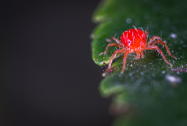 Spider Mites - How To Identify and Remove From Your Garden