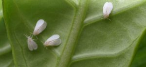 How To Get Rid Of Whiteflies On Plants Fast