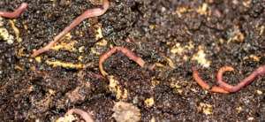 How To Use Worm Castings To Grow Huge, Healthy Plants