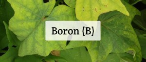Boron For Plants: Deficiency, Toxicity, Sources, & More!