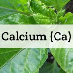 Calcium For Plants: Deficiency, Toxicity, Sources, & More