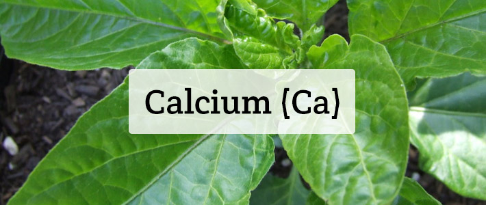 Calcium (Ca) Nutrient Deficiencies