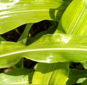 corn-leaves-before-after-mg1