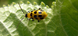 How To Get Rid Of Cucumber Beetles In The Garden