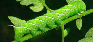 How To Get Rid Of Tomato Hornworms In The Garden