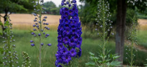 How To Grow Delphinium From Seed To Harvest