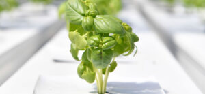How To Grow Hydroponic Basil