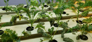 How To Grow Hydroponic Kale