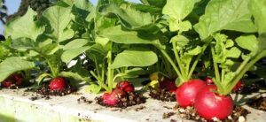 How To Grow Hydroponic Radish