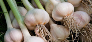 How To Grow Hydroponic Garlic