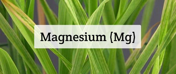 Magnesium (Mg) Nutrient Deficiencies