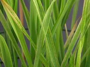 magnesium deficiency - barley-main image
