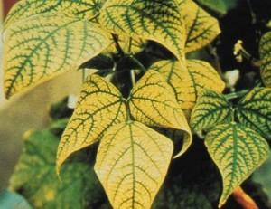 manganese-def-soybean