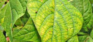 Diagnosing Nutrient Deficiency In Plants