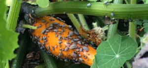 How To Get Rid Of Squash Bugs In The Garden