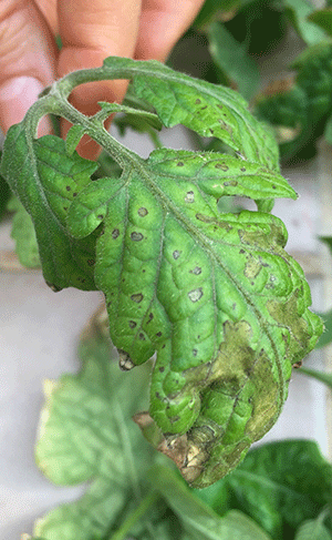 Are aphids bad for plants
