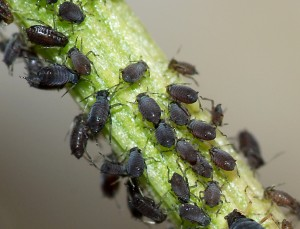 Aphids_May_2010-2 (1)