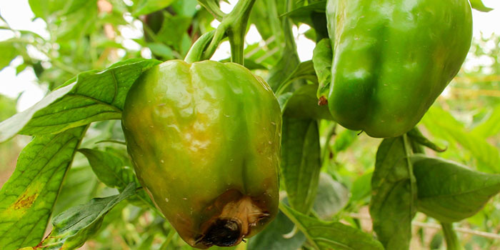 Bell Peppers Pest & Disease Prevention
