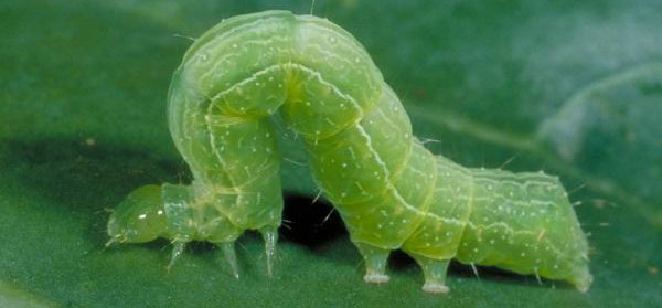 What Are Cabbage Worms?