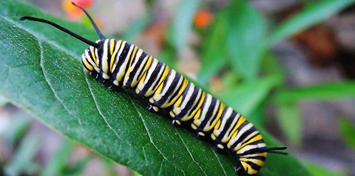Caterpillars infestation in the garden