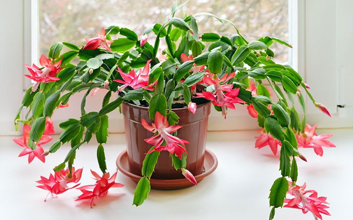 Where Does The Christmas Cactus Get Its Name?