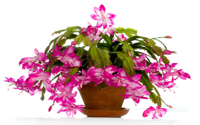 How To Get Your Christmas Cactus To Bloom