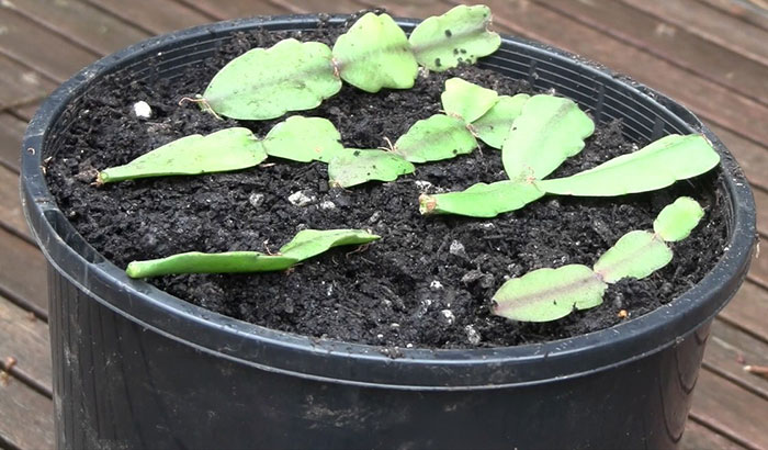 How To Grow A Christmas Cactus: Step by Step