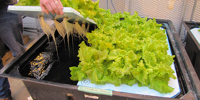 Feeding Your Hydroponic Lettuce Nutrients