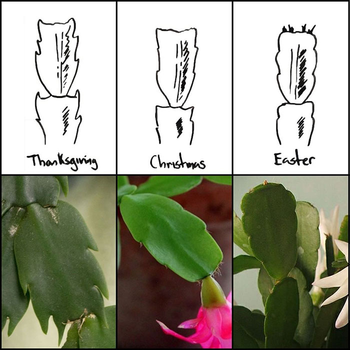 What Are The Different Types Of Holiday Cactus?