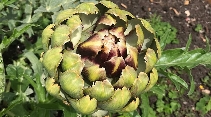 Why Are My Artichokes Dying?