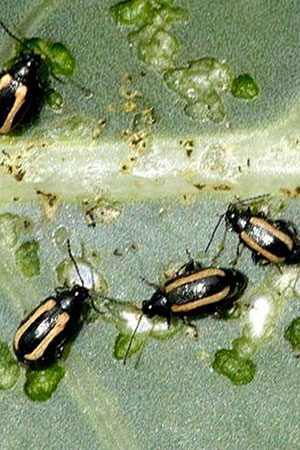 How To Prevent A Flea Beetle Infestation In The First Place