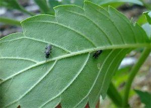 Fungus Gnats Infestation On Cannabis