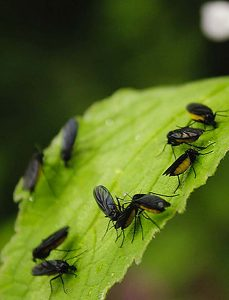 fight fungus gnats with beneficial bugs