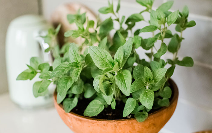 How To Grow Oregano Indoors - What Else Is Needed?