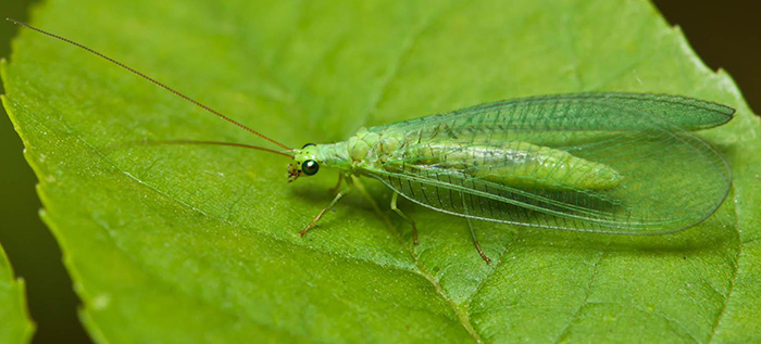 green lacewings are an insect that can eat tomato hornworms, helping you naturally manage an outbreak