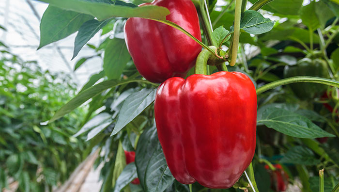 What Can You Grow In A Greenhouse For Beginners?